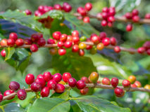 Los granos de café maduros rojos en la plantación cultivan Foto de archivo libre de regalías