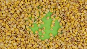 Los granos del maíz caen en una pantalla verde giratoria, llenan hasta un fondo completo del maíz almacen de metraje de vídeo