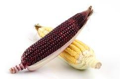 Los granos del morado y del maíz de Maiz son beneficiosos al cuerpo. Fotografía de archivo