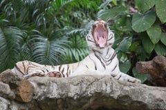 Los gruñidos del tigre del blanco colmillos grandes doff Imagen de archivo libre de regalías