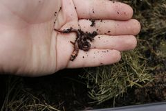 Los gusanos de la tierra conocidos como wigglers rojos en a sirven la mano estos gusanos se utilizan para el cebo y abonar la bas imágenes de archivo libres de regalías
