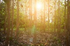 Los haces de Sun vierten a través de árboles en bosque fotografía de archivo