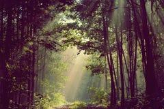 Los haces de Sun vierten a través de árboles en bosque de niebla imagenes de archivo