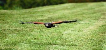 Los halcones de Harris en vuelo Fotos de archivo