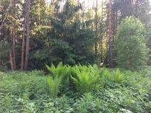Los helechos cubren el piso del bosque en día de verano soleado Rusia Fotografía de archivo libre de regalías