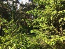 Los helechos cubren el piso del bosque en día de verano soleado Rusia Fotografía de archivo