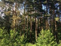 Los helechos cubren el piso del bosque en día de verano soleado Rusia Imagenes de archivo