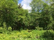 Los helechos cubren el piso del bosque en día de verano soleado Rusia Imágenes de archivo libres de regalías
