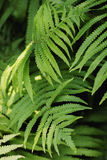 Los helechos de Beautyful dejan a follaje verde el helecho floral natural en sunl Foto de archivo libre de regalías