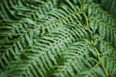 Los helechos de Beautyful salen follaje verde de backgro floral natural del helecho foto de archivo libre de regalías