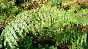 Los helechos hermosos dejan a follaje verde el fondo floral natural del helecho en luz del sol imagenes de archivo