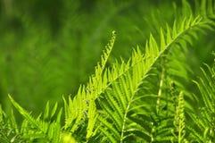 Los helechos hermosos salen follaje verde de backgro floral natural del helecho foto de archivo libre de regalías