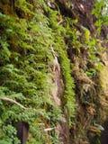 Los helechos y el pequeño musgo verde crecen en las paredes de la montaña rocosa Para el fondo natural imagen de archivo