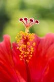 Los hibiscos florecen solo tropical de centro del pistilo macro rojo del estambre Foto de archivo
