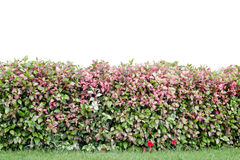 Los hibiscos forran aislado en el fondo blanco Fotografía de archivo