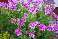 Los hibiscos púrpuras se cierran para arriba Foto de archivo