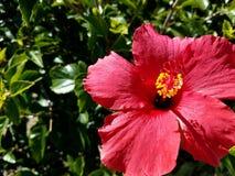 Los hibiscos rojos florecen encima de cierre con el fondo verde 4k Fotografía de archivo