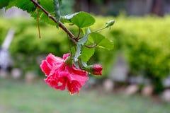 Los hibiscos rojos florecen la floración en jardín fotos de archivo libres de regalías