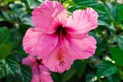 Los hibiscos rosados florecientes delicados hermosos florecen en el arbusto, hojas del verde, luz del sol, cierre para arriba, te Fotos de archivo