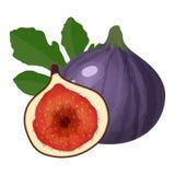 Los higos púrpuras dan fruto aislado en el ejemplo blanco del vector del fondo stock de ilustración