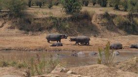 Los hipopótamos masculinos se atacan durante la estación de acoplamiento en Mara River In Africa almacen de metraje de vídeo