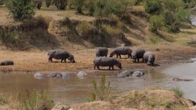 Los hipopótamos todavía que se colocan en los bancos de Mara River, otros se refrescan en agua metrajes