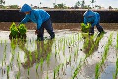 Los hombres del Balinese plantan hacia fuera el almácigo del arroz en campo del pantano de la terraza Fotos de archivo libres de regalías