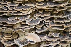 Los hongos de Scalled forman, la estructura uniforme, escalas texturizadas de tamaños varous imagen de archivo