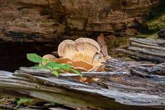 Los hongos de soporte, o los hongos de estante producen cuerpos estante-formados foto de archivo