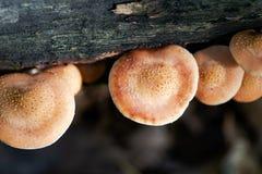 Los hongos del árbol de hueco en bosque la presencia de estas setas indican que el árbol tiene una enfermedad y se está descompon imagen de archivo libre de regalías