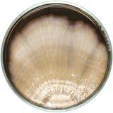 Los hongos o el molde de Brown contaminan en la placa de agar (la placa de Petri) hongos o contaminación del molde los hongos o e Fotografía de archivo libre de regalías
