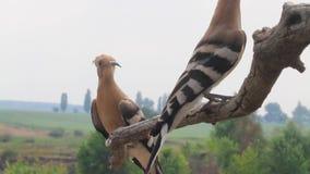 Los Hoopoes se están sentando en una rama y están mirando alrededor