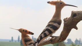 Los Hoopoes vuelan a la rama y sientan la mirada alrededor
