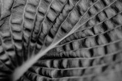 Los hostas de la planta escogen la hoja en blanco y negro foto de archivo libre de regalías