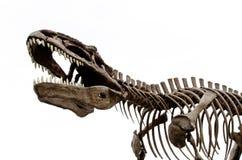 Los huesos de dinosaurio Fotografía de archivo libre de regalías