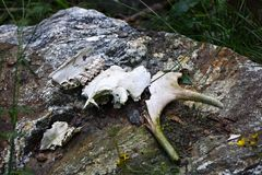 Los huesos de un alce en bosque Fotografía de archivo