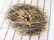Los huevos de codornices en el ` s de las codornices jerarquizan Fotos de archivo