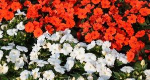 Los impatiens rojos y blancos florecen en el macizo de flores Imagen de archivo libre de regalías
