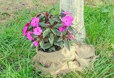 Los impatiens rosados florecen, hierba verde, cubierta del paño, al aire libre Fotografía de archivo libre de regalías