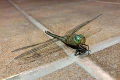Los insectos de la libélula, naturaleza, macro se sientan en el piso de cerámica tienen gusto en la pista foto de archivo