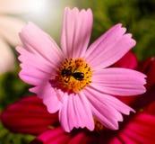 Los insectos en el cosmos florecen en el jardín Fotografía de archivo