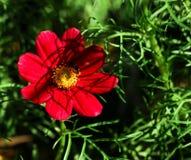 Los insectos en el cosmos florecen en el jardín Fotografía de archivo libre de regalías
