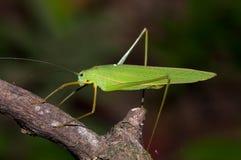 Tettigoniidae imagen de archivo