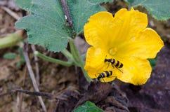 Los insectos están comiendo las flores de la calabaza foto de archivo libre de regalías