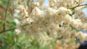 Los insectos recogen el n?ctar de las flores amarillas florecientes en una rama Primer C?mara lenta las abejas recogen el n?ctar