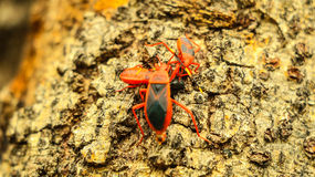 Los insectos rojos están intentando para ayudar a uno otro Imagen de archivo libre de regalías