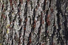 Los insectos rojos toman el sol en el sol en corteza de árbol Caliente-soldados del otoño para los escarabajos Imagen de archivo