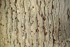 Los insectos rojos toman el sol en el sol en corteza de árbol Caliente-soldados del otoño para los escarabajos Imagenes de archivo