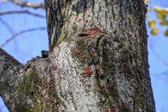Los insectos rojos toman el sol en el sol en corteza de árbol Caliente-soldados del otoño para los escarabajos Foto de archivo libre de regalías