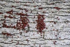 Los insectos rojos toman el sol en el sol en corteza de árbol Caliente-soldados del otoño para los escarabajos Fotografía de archivo